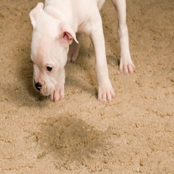HOW TO REMOVE OLD PET STAINS FROM CARPETS