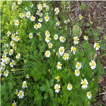 What you need to know about different chamomile varieties
