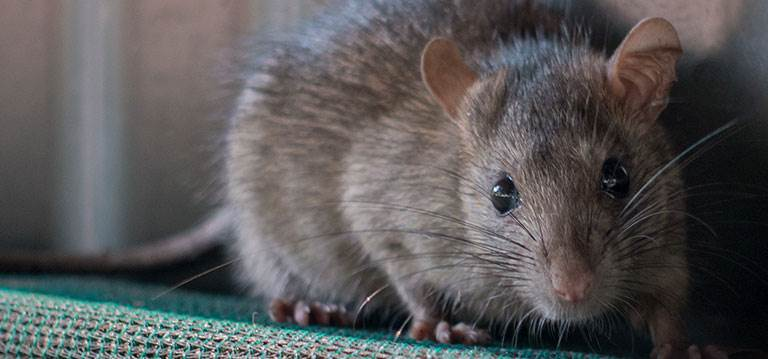 Dreaming About rats - Meaning